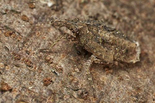 Camouflaged fulgorid hopper nymph
