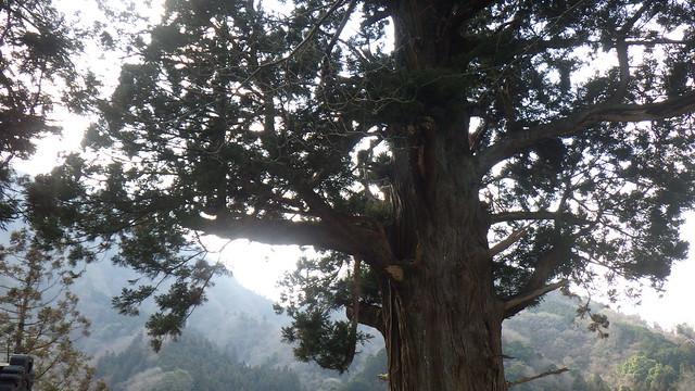 Houkisugi 「箒杉」