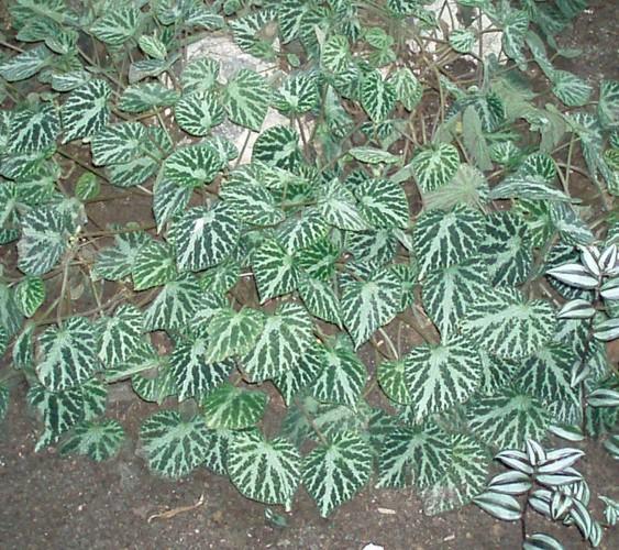 Begonia imperialis 25015645337_7a057d5c4c_o