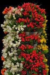 Tulips To Go, Hicks Nursery, Westbury, New York