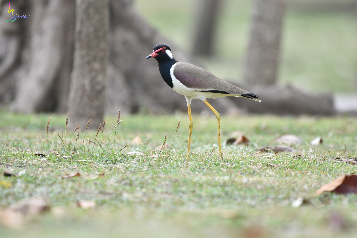 Red-wattled_Lapwing_4493