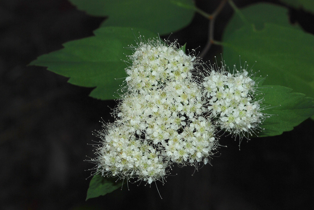 Birch-leaved Spirea