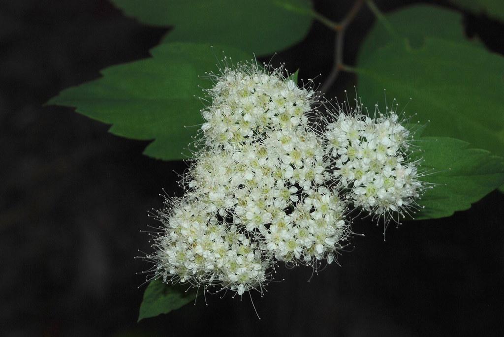 Birch-leaved Spirea