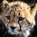 Fuzzy Cheetah Cub