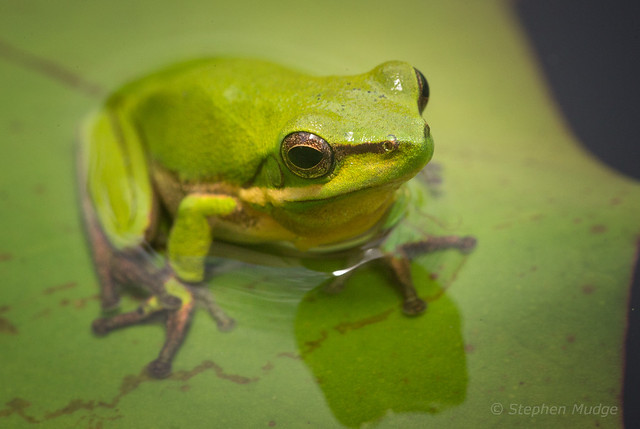 Frog on a lilly pad