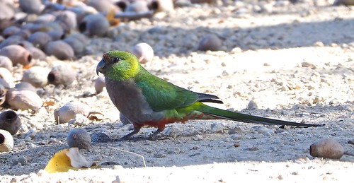 Red-capped Parrot (Imm.)