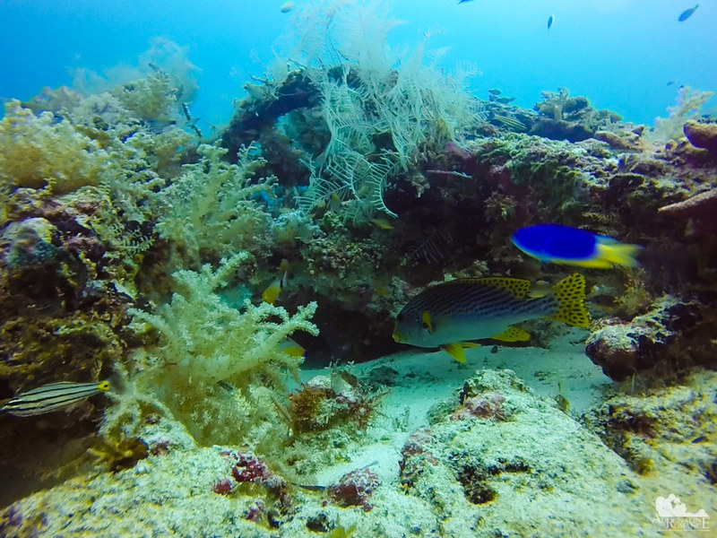 Matured Sweetlips and a blue damselfish