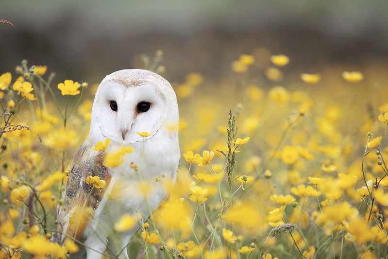 Barn_Owl,_Manchester_area,_UK,_by_Andy_Chilton_2016-07-06_(Unsplash)