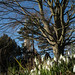 Snowdrops and Church