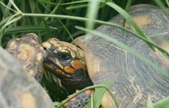 Red-footed Tortoises (Chelonoidis carbonarius) (Captive specimen)