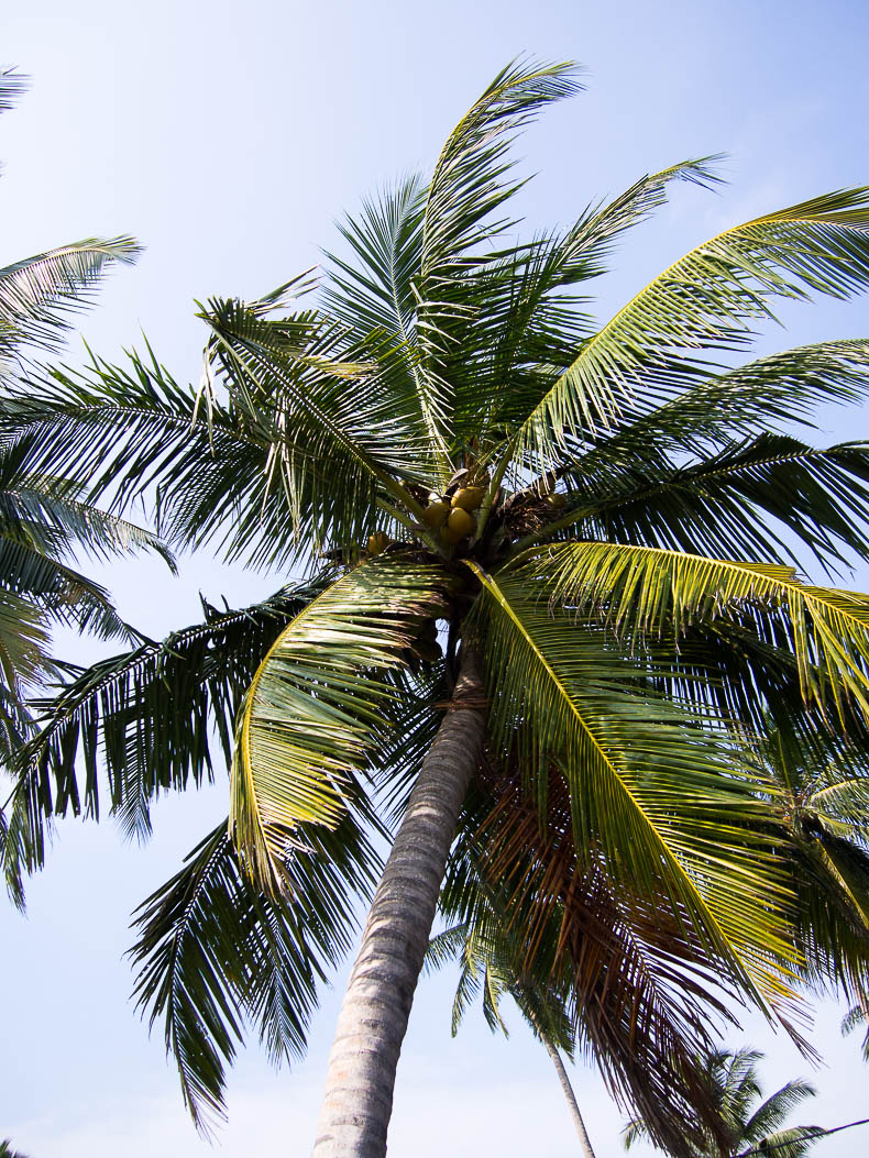 sri-lanka-coconut-palm-tree