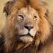 Lion Portrait by Will Burrard-Lucas | Wildlife