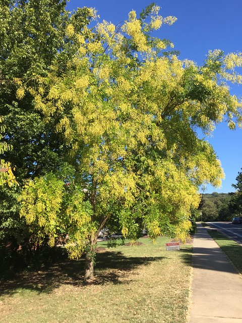 Styphnolobium (Sophora) japonicum Pagodatree Scholar Tree 2016-10-11 Fay (3)