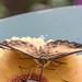 Clipper Butterfly RHS Wisley 08 February 2018 (16)