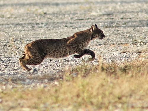 Bobcat 010-20180219