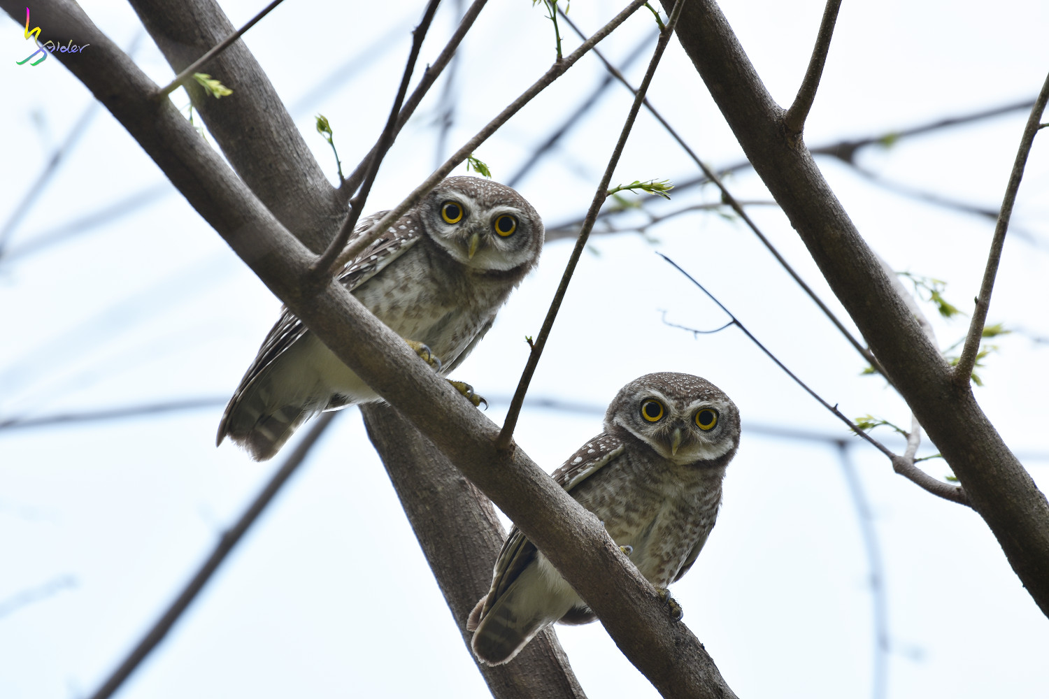 Spotted_Owlet_3699