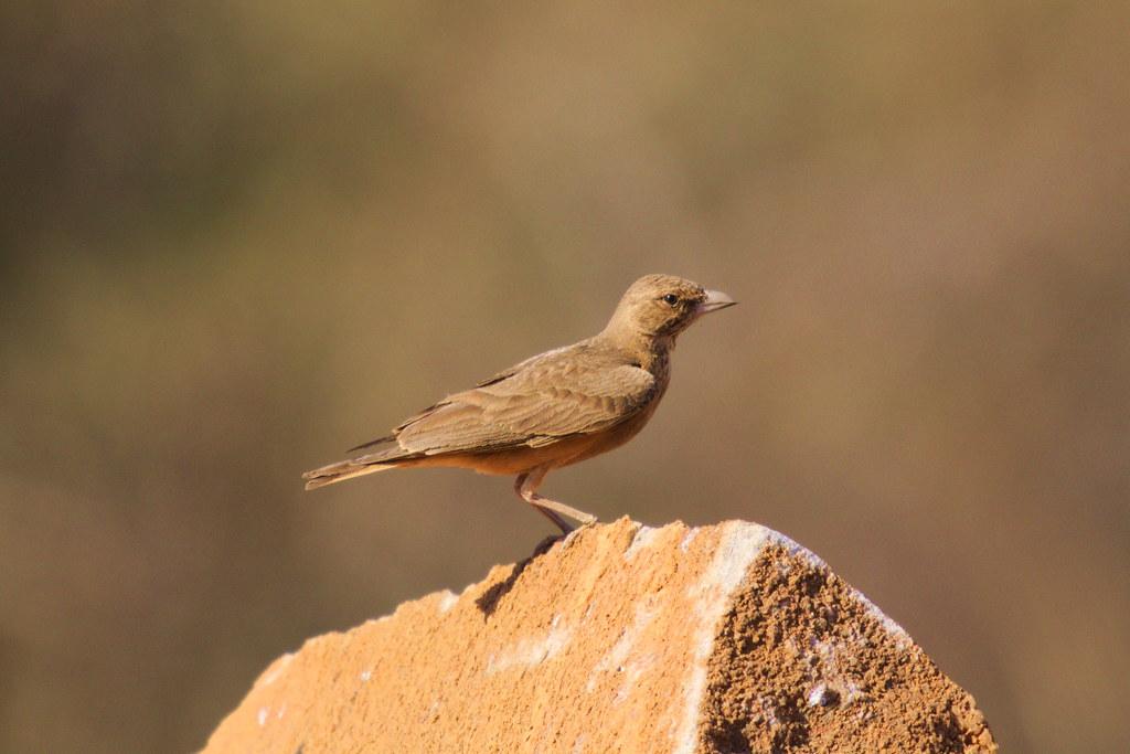 Rufous-tailed lark