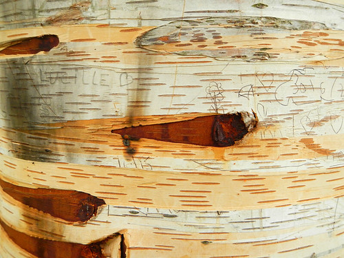 Birch bark texture in Cahir Park in Ireland