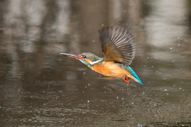 20180203-kingfisher-DSC_6963
