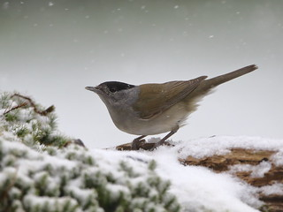 Blackcap in the snow | by sinky 911