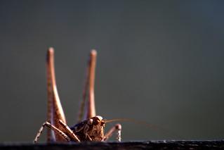 Mediterranean Bush-cricket (Rhacocleis germanica)