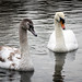 Swan with Young