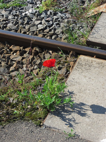 20170531 04 094 Regia Eisenbahngleise Blume Mohn rot