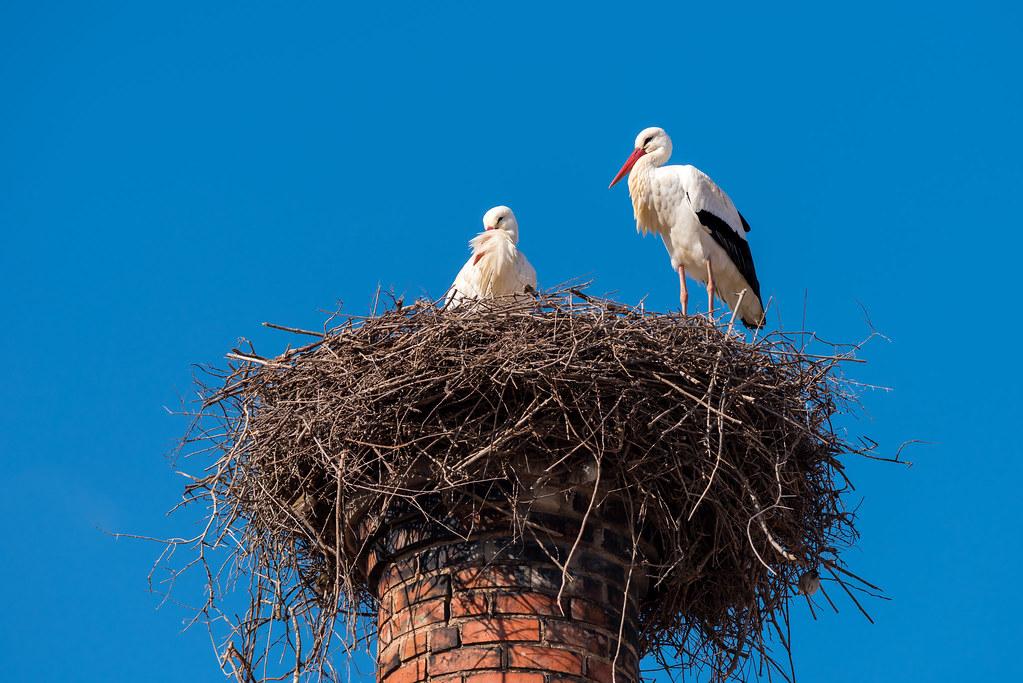 White Storks Nest on a Chimney