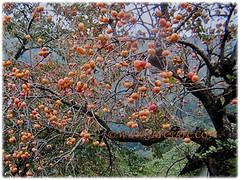 Prolific fruiting tree of Diospyros kaki (Asian Persimmon, Japanese Persimmon, Oriental Persimmon, Buah Pisang Kaki in Malay), Feb 28 2018