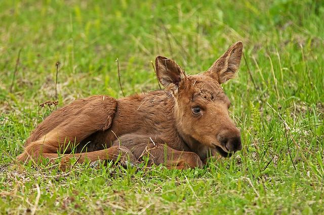 Closeup Of New Born Moose Calf