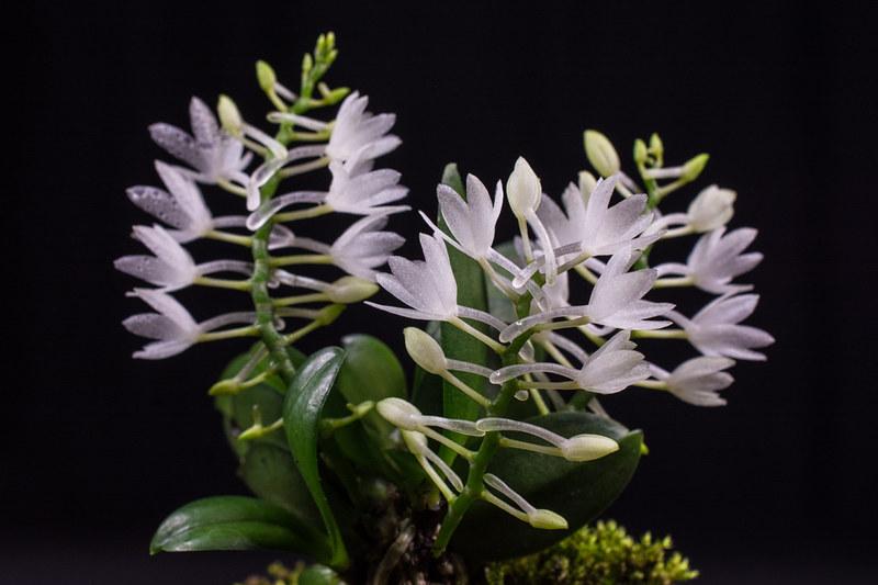 Miniatur-Orchideen Teil 4 - Seite 5 27907670639_d5ba703d4a_c