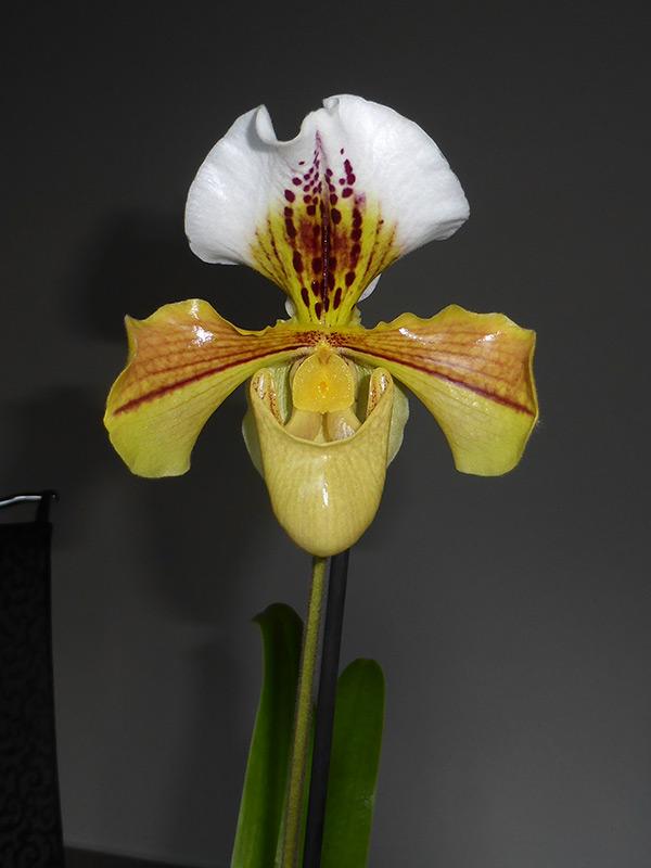 Orchideen-Neuzugang 2 38494692990_a607bac72f_o