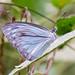 Pareronia anais - Photo (c) Charlie Jackson, algunos derechos reservados (CC BY)