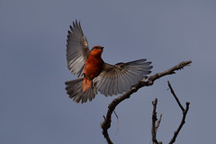 Male, Vermillion Flycatcher at San Joaquin Wildlife Sanctuary, Irvine, CA
