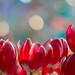 Winter tulip #2 by yamabuki***