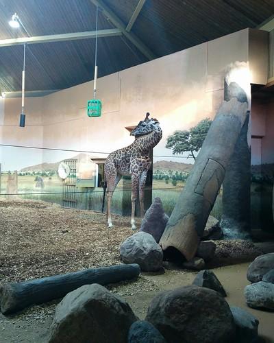 Giraffe (1) #toronto #torontozoo #mammal #giraffe #latergram