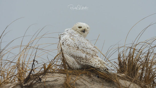 Snowy Owls of New Jersey | 2018 - 15