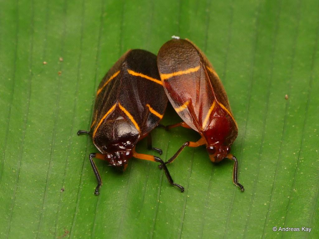 Spittlebugs mating, Cercopidae