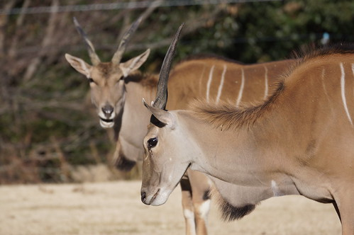 Common eland at Toyohashi Zoo 2018-01-06