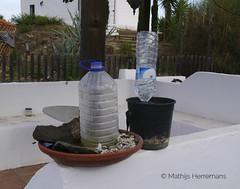 Spaanse bijen (Apis mellifera Iberica) bij imker Lee Morley irrigatiesysteem
