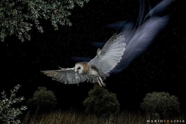 Reina de la noche - Copyright Mario Cea
