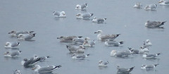Caspian Gull Larus cachinnans Tophill Low NR, East Yorkshire January 2018