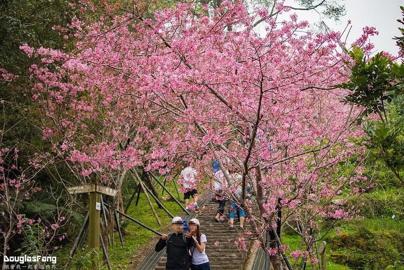 【遊記】南投鹿谷鳳凰自然教育園區賞櫻花 (27)