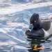 Reflective Duck