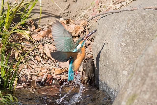 20180212-kingfisher-DSC_8918