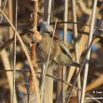 Escribanos palustres y pájaros moscones deshaciendo las eneas o espadañas. Lagunas de La Guardia (Toledo)