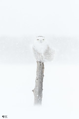 ''Mirage!'' Harfang des neiges-Snowy owl 作者 pascaleforest