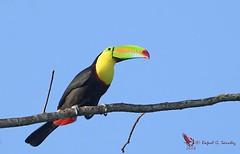 Keel-billed toucan - Toucan à carène - Tucán pico iris - Ramphastos sulfuratus