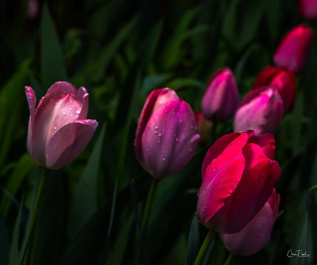 Flowers-Tulips-48.jpg