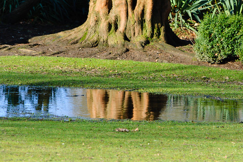 Deciduous conifer, reflected in a puddle, West Park